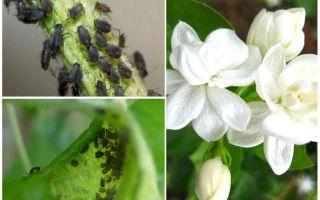 كيف تتخلص من حشرات المن على الياسمين