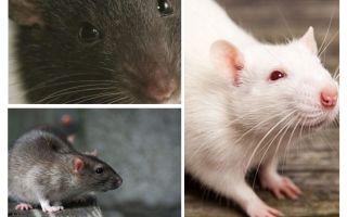 رؤية الفئران