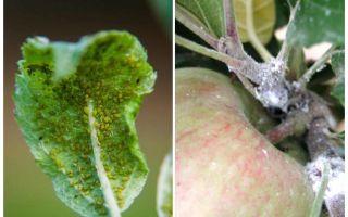 كيف تتخلص من حشرات المن على أشجار التفاح؟