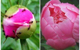 كيفية معالجة الفاوانيا من النمل ، العلاجات الشعبية