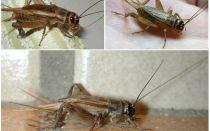 وصف وصور الصراصير