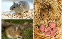 عمر الفئران