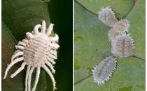 كيفية التخلص من البق الدقيقي في النباتات الداخلية