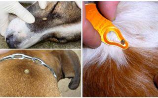 القراد العضة في الكلب - الأعراض والآثار والعلاج في المنزل