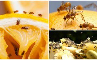كيفية التخلص من ذباب الفاكهة في متجر المطبخ والعلاجات الشعبية