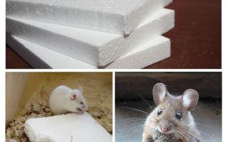 هل الفئران نخر الرغوة