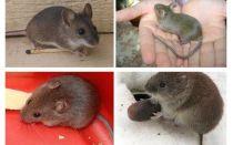 الفئران البيت