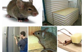 هل الفئران نخر لوحات نسر
