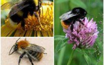 كيف تبدو النحلة الطنانة؟