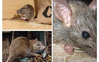 يمكن للفئران مهاجمة البشر