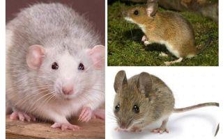 هيكل الفأرة