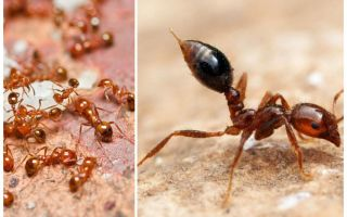 كيفية التخلص من النمل الأحمر الصغير في شقة