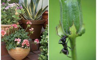 كيفية إزالة النمل من وعاء الزهور