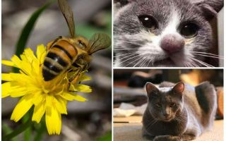 ما يجب القيام به إذا عض القط من قبل نحلة