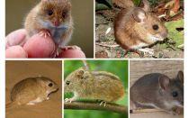 أنواع وأنواع الفئران