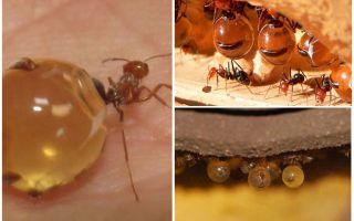 عسل النمل