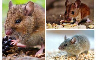 ما تأكل الفئران