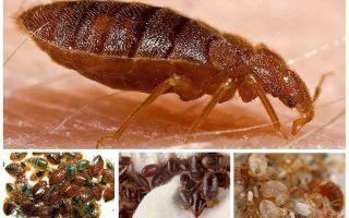 هل الصراصير تأكل الحشرات