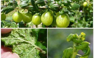 كيف تتخلص من حشرات المن على العنب
