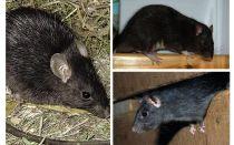 الفئران السوداء