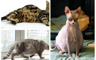 كيفية إزالة البراغيث من القطط الحامل