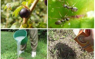 كيفية التعامل مع النمل والمن على الكشمش