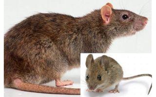 ما هو الفرق بين الفئران والجرذان؟
