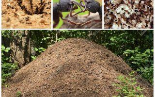 حياة النمل في عش النمل