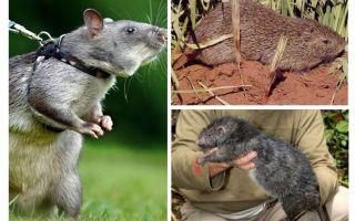 أكبر الفئران في العالم