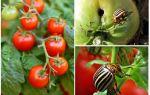 كيفية معالجة الطماطم من خنفساء كولورادو البطاطا
