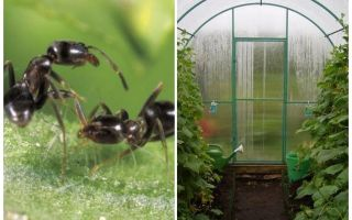 كيفية التعامل مع النمل في العلاجات الشعبية الدفيئة