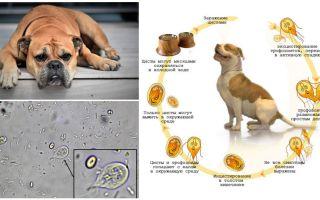 أعراض وعلاج الجيارديا في الكلاب