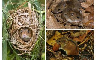 فئران الغابات