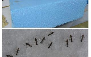 النمل ، penoplex والرغوة