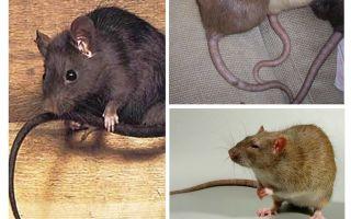 لماذا ذيل الفئران