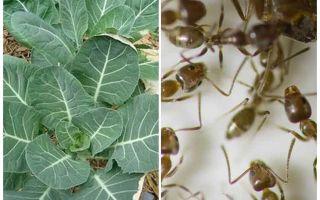 كيفية حفظ الملفوف من النمل