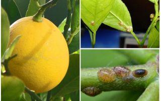 كيفية التعامل مع الدرع على الليمون
