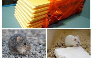 ما إذا كانت الفئران تأكل penoplex