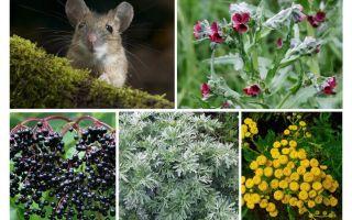 العشب من الفئران