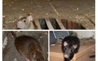 كيفية اصطياد الفئران في المنزل