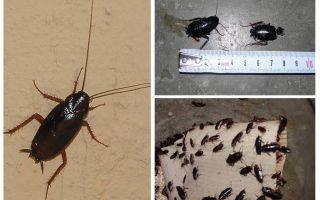 كيف تتخلص من الصراصير السوداء الكبيرة في الشقة