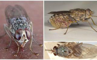 وصف وصور ذبابة التسي تسي