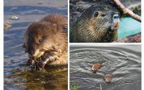 فئران الماء