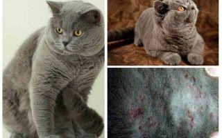 كيفية الحصول على برغوث من قطة بريطانية