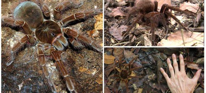 وصف وصور عنكبوت طائر جالوت
