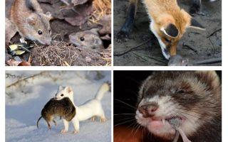 من يأكل الفئران
