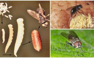 ماذا يحدث إذا كنت تأكل البيض أو يرقات ذبابة