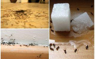 كيفية إزالة النمل من شقة في المنزل