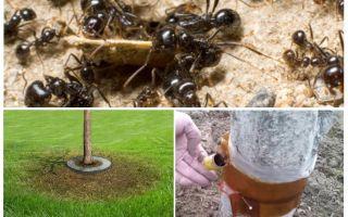 الفخاخ النمل في الأشجار بأيديهم