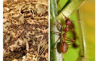 ما هو النمل مفيدة